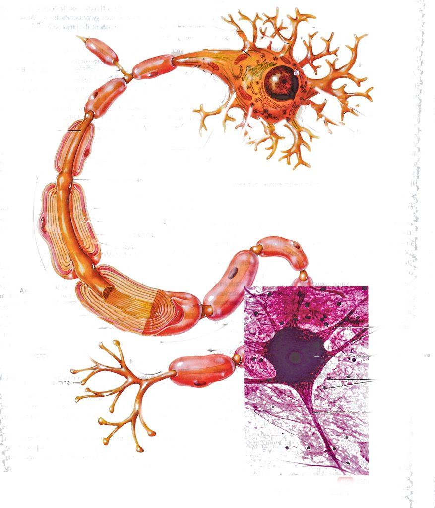 Le neurone de base Quand je parle de cerveau il s'agit en fait de multiples centres dans le cerveau ou ailleurs qui par un contrôle cybernétique se parlent et se coordonnent
