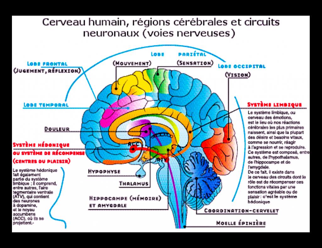 Nos yeux, nos oreilles, un toucher envoient un éclair à la zone du cortex cérébral qui traite les informations sensorielles. En une nano seconde (moins d'un milliardième de seconde, 10-9 seconde ) le message est transmis au cortex préfrontal qui décortique l'information