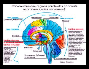 Nos yeux, nos oreilles, un toucher envoient un éclair à la zone du cortex cérébral qui traite les informations sensorielles. En une nano seconde (moins d'un milliardième de seconde, 10-9seconde) le message est transmis au cortex préfrontal qui décortique l'information