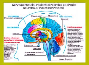 Nos yeux, nos oreilles, un toucher envoient un éclair à la zone du cortex cérébral qui traite les informations sensorielles. En une nano seconde (moins d'un milliardième de seconde, 10-9seconde) le message est transmis au cortex préfrontal qui décortique l'information.