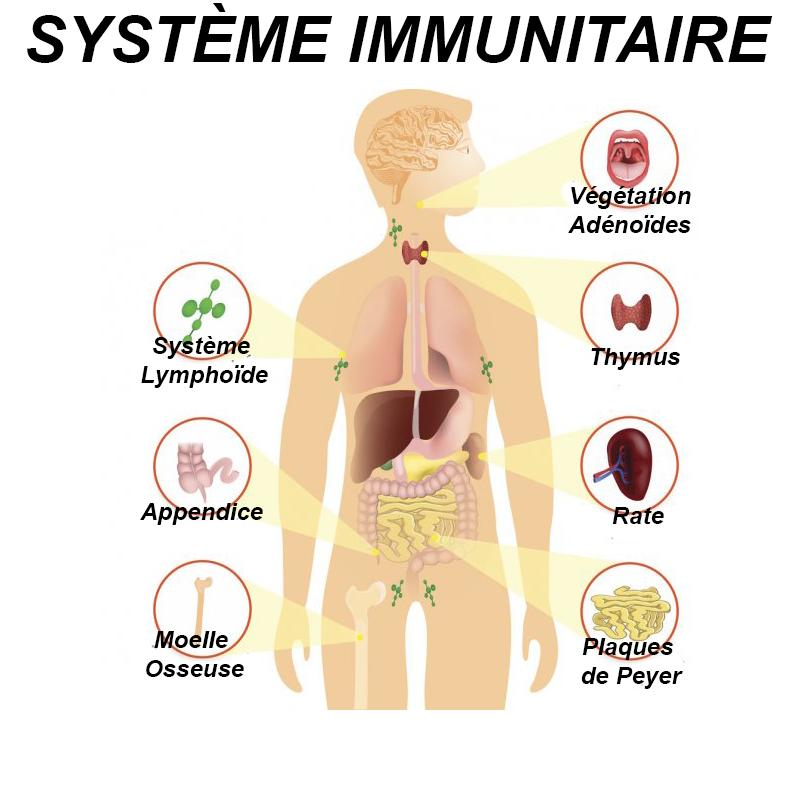 Toute l'immunité se joue dans le corps humain