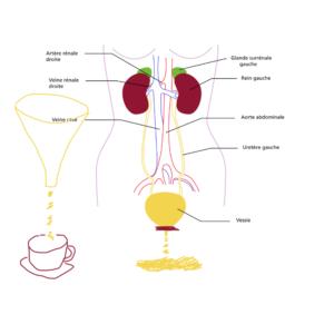 Vessie et filtre à café